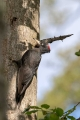 Crna_zolna_Black_woodpecker_09.jpg