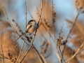 Dolgorepka_Long_tailed_tit_17.jpg
