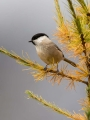 Gorska_sinica_Willow_tit_15.jpg