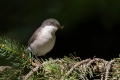 Mlinarcek_Lesser_whitethroat_12.jpg