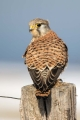 Navadna_postovka_Common_kestrel_22.jpg