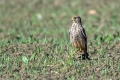 Navadna_postovka_Common_kestrel_34.jpg