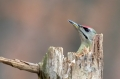 Pivka_Grey_headed_woodpecker_Picus_canus_Zolne_Picidae_06.jpg
