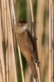 Rakar_Great_reed_warbler_14.jpg