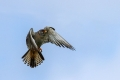 Rdecenoga_postovka_Red_footed_falcon_Falco_vespertinus_Sokoli_Falconidae_30.jpg