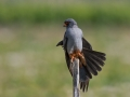 Rdecenoga_postovka_Red_footed_falcon_Falco_vespertinus_Sokoli_Falconidae_50.jpg