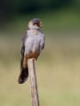 Rdecenoga_postovka_Red_footed_falcon_Falco_vespertinus_Sokoli_Falconidae_51.jpg