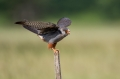 Rdecenoga_postovka_Red_footed_falcon_Falco_vespertinus_Sokoli_Falconidae_52.jpg