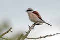 Rjavi_srakoper_Red_backed_shrike_12.jpg