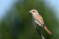 Rjavi_srakoper_Red_backed_shrike_13.jpg