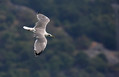 Rumenonogi_galeb_Yellow_legged_gull_05.jpg