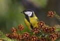 Velika_sinica_Great_tit_Parus_major_Sinice_Paridae_17.jpg