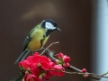 Velika_sinica_Great_tit_Parus_major_Sinice_Paridae_28.jpg