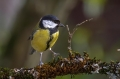 Velika_sinica_Great_tit_Parus_major_Sinice_Paridae_31.jpg