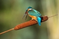 Vodomec_Kingfisher_43~0.jpg