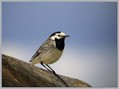 Bela_pastirica_Pied_wagtail_01.jpg