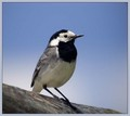Bela_pastirica_Pied_wagtail_02.jpg