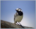 Bela_pastirica_Pied_wagtail_03.jpg