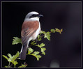 Rjavi_srakoper_Red_backed_shrike_02.jpg