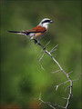 Rjavi_srakoper_Red_backed_shrike_06.jpg