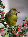 Zelenec_Greenfinch_15.jpg