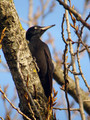 Crna_zolna_Black_woodpecker_02.jpg
