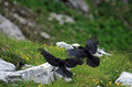 Planinska_kavka_Alpine_chough_Pyrrhocorax_graculus_05.jpg